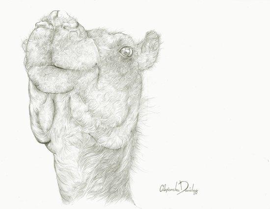 Aziz the Camel  Art Print