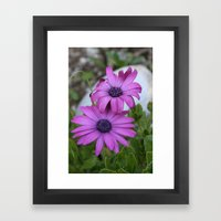 Purple and Pink African Daisy Flowers Framed Art Print