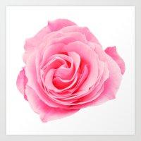 Pink Rose Swirl Petals Art Print