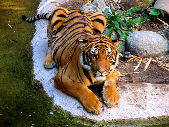 Pool Side Tiger Canvas Print