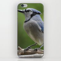A Northern Blue Jay iPhone & iPod Skin