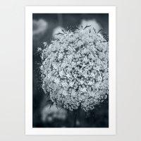 Queen Anne's Lace Flower… Art Print