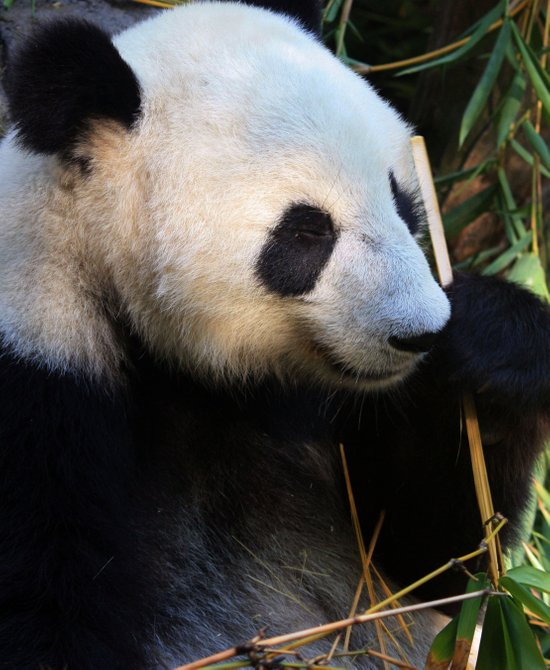 Panda Nap Canvas Print