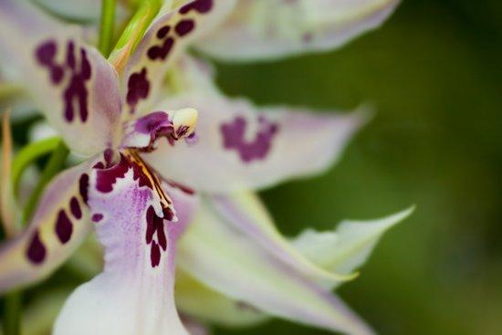 Orchid Cambria 8022 Canvas Print