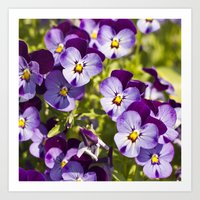 Happy pansies  Art Print