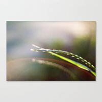 Evening Light Canvas Print