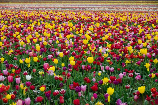 Fields of Color II, Woodburn Tulip Festival Art Print
