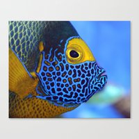 Blue-faced Angelfish Canvas Print