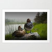 Canvasback Duck Pair by a Pond Art Print