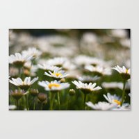 Daisy Field Canvas Print