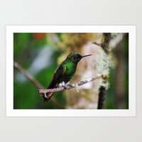 Ecuadorian Hummingbird 2… Art Print
