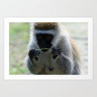 Vervet Monkey Art Print