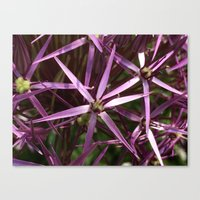 Purple star alium Canvas Print