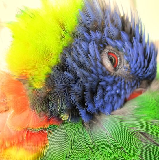 Lorikeet Color Wheel Art Print