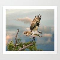Osprey With Nesting Mate… Art Print