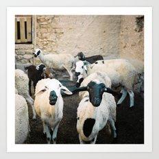 Sheep in Morrocan desert (color) Art Print