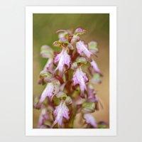Wild Orchid Barlia Rober… Art Print
