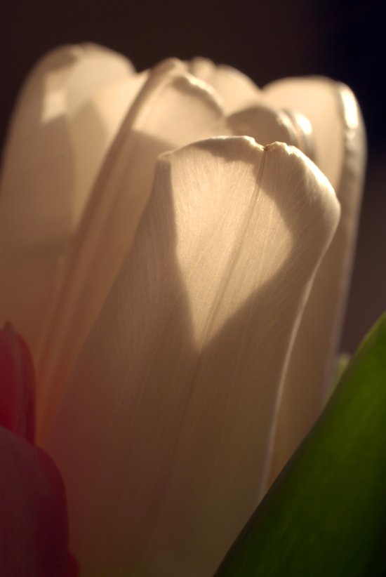 White Tulip Profile Art Print