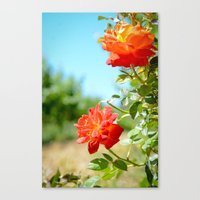 Roses in Santa Ynez California Vineyard Canvas Print