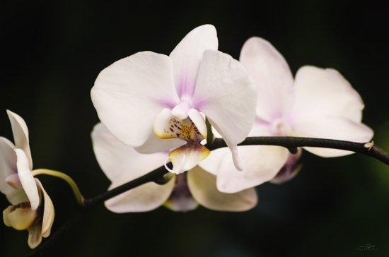 Blushing Orchid Art Print