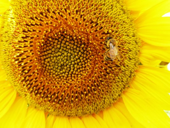 Bee on a Sunflower Art Print