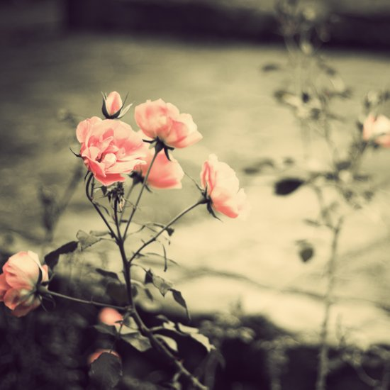 Pink Roses in the Garden (Vintage Flower Photography) Art Print