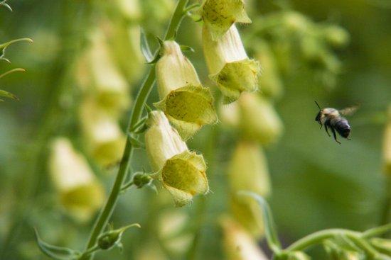Busy Bee in The Foxglove (Yellow) Art Print