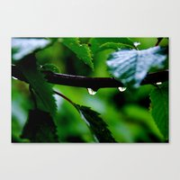 Droplets on a Tree Branch Canvas Print