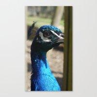 Mr Peacock Canvas Print