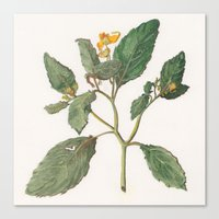 Impatiens Capensis Canvas Print