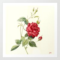 Botanical study - Rose Art Print