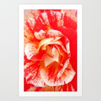 Two‑Color Rose Flower … Art Print