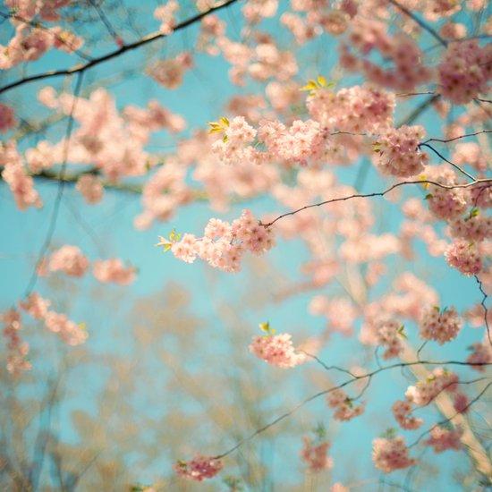 Dance of the Cherry Blossom Art Print