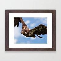 Flying Immature Bald Eag… Framed Art Print