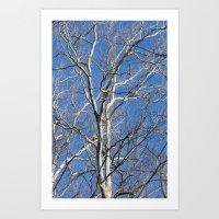 White Birch Art Print
