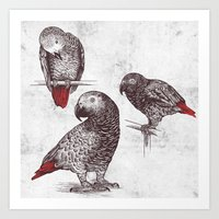 Three Grey Parrots Art Print