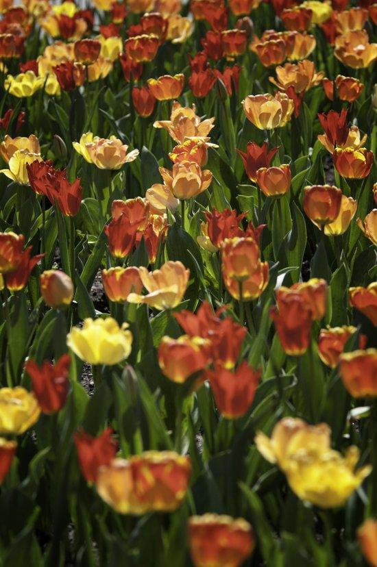 A sea of spring tulips Art Print