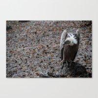 vulture after rainin' Canvas Print