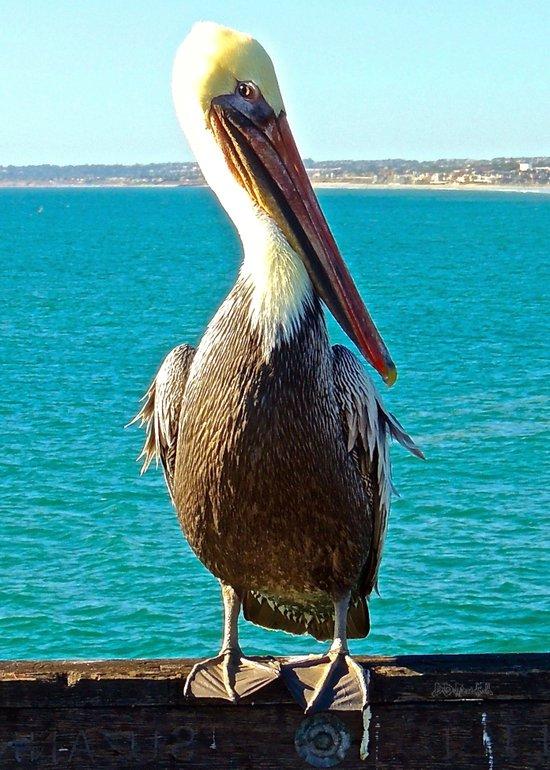 Portrait of a Perky Pelican Art Print