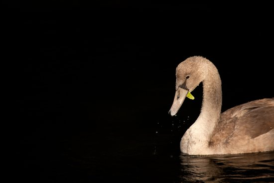 Young Swan Canvas Print