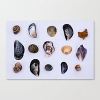 English Seashells Canvas Print