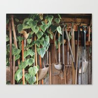 Hedera Ivy growing among gardening tools in a shed. UK. (Shot on film). Canvas Print