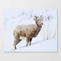 Big Horn Sheep In The Sn… Canvas Print