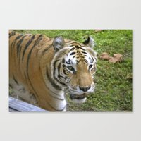 Close Encounters of the Tiger Kind Canvas Print