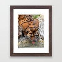 Thirsty Tiger Framed Art Print