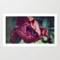 Peony Red Flower Art Print