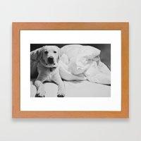 Sleepy Labrador Framed Art Print