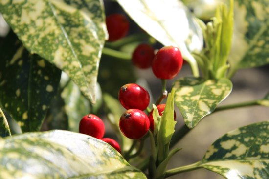 Ohhh berries :D Art Print