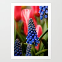 Grape Hyacinth and Tulips Art Print