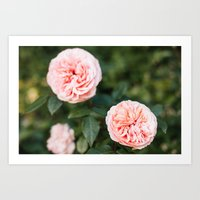 English Roses Art Print